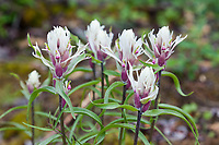 Elegant paintbrush wildflowers in summer bloom, July, Arctic National Wildlife Refuge, Alaska.