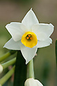 Daffodil (Narcissus 'Avalanche'), a Division 8 Tazetta variety, mid February.