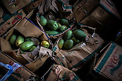 Packets of mangoes at the wholesale market, Ch. Hira Singh Fruits and Vegetable Market in Azadpur, Delhi, India. Photo: Sanjit Das/Panos