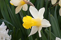 Narcissus Topolino (AGM) Division 1 spring flowering bulb daffodil, yellow corona with white petals in bloom