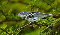 591730005 a wild male cerulean warbler songbird setophaga cerulea - was dendroica cerulea - perches in thick brush on south padre island cameron county texas