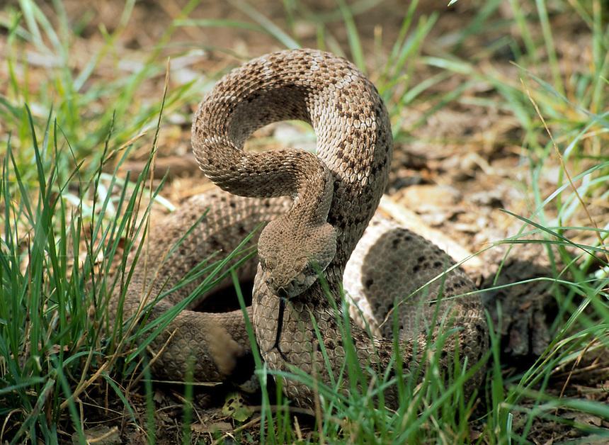 A Western Diamondback Rattlesnake (Crotalus atrox - family Viperidae) aka - coon tail rattler, poised to strike. Arizona.