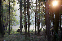 Gaur at Sunrise in Kanha National Park, India, Gaur, tree canopy, jungle