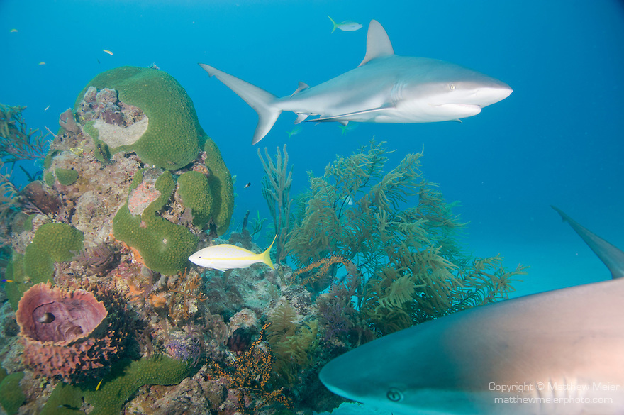 Grand Bahama Island, The Bahamas; a pair of Caribbean Reef Sharks (Carcharhinus perezi) swim over a coral patch reef