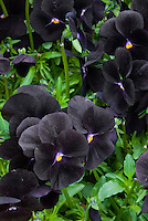 Viola Molly Sanderson with dark virtually black flowers