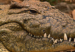 Extreme close-up of a nile crocodile