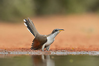 Yellow-billed Cuckoo (Coccyzus americanus), adult at pond drinking, Rio Grande Valley, South Texas, Texas, USA