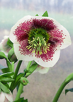 White &amp; red flowers of Hellebore Splashdown Strain, green nectaries