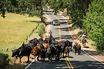 Butte Mt. Cattle Drive, 2014