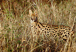 Serval looking out from tall grass, Kenya