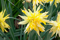 Daffodil Rip Van Winkle Narcissus, old fashioned double flowered, pumilis plenus, division 4