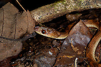 The Northern Cat-eyed Snake, Leptodeira septentrionalis, is a predator of the Red-eyed Tree Frog; La Selva, Costa Rica