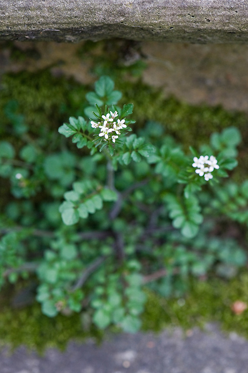 Wavy bittercress (Cardamine flexuosa) in flower, mid April.