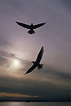 Two silhouetted seagulls in flight over Elliott Bay along the Seattle waterfront at sunset Washington State USA