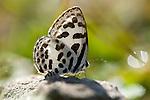 Common Pierrot Butterfly, Castalius rosimon, black and white, backlight, Corbett National Park, Uttarakhand, Northern India.India....