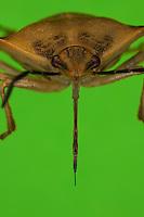 Nördliche Fruchtwanze, Stechrüssel, Saugrüssel, Rüssel, Rostrum, stechend-saugende Mundwerkzeuge, Mundwerkzeug, Baumwanze, Carpocoris fuscispinus, stink bug