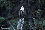 Bald Eagle on a broken off tree stump on the edge of  a pine forest