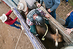 Overhead view of bull rider in bucking chute at Mareeba Rodeo.  Mareeba, Queensland, Australia