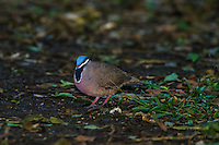 The endemic, highly endangered Blue-headed Quail-Dove (Starnoenas cyanocephala) can frequently be seen near Bermejas very early in the morning. Zapata Peninsula, Cuba.