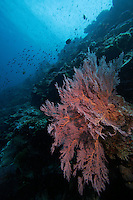 Sipadan island is known as one of the worlds top diving destiantions. The healthy coral reef is home to many species. Fan coral.