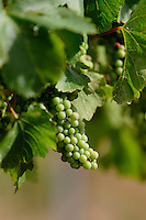 Wine grapes on vine.<br />