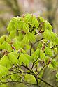Golden Shirasawa maple (Acer shirasawanum 'Aureum' syn. Acer japonicum 'Aureum'), mid April.