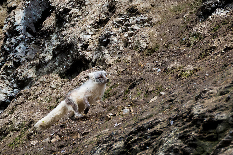 Exploring Diskobutka on the island of Edgeoya in the Svalbard archipelago which supports a variety of wildlife including reindeer, arctic fox and a kittiwake colony. Here an arctic fox searches for food in the cliffs of a black legged kittiwake colony