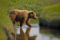 A coastal brown bear crosses the slough in the sedging fields at Lake Clark National Park, Alaska.