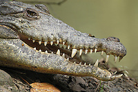 American Crocodile head (Crocodylus acutus), Belize
