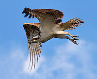 Osprey, Pandion haliaetus, in flight