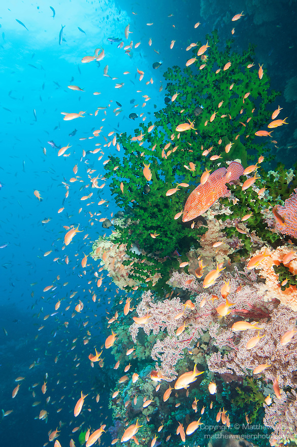 Bligh Waters, Rakiraki, Viti Levu, Fiji; a Coral Grouper and an aggregation of schooling Anthias fish swimming amongst green Black Sun Coral and yellow soft corals