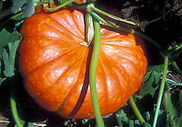 Large Cinderella pumpkin growing in garden Rouge d'Hiver or Rouge d'Etamps