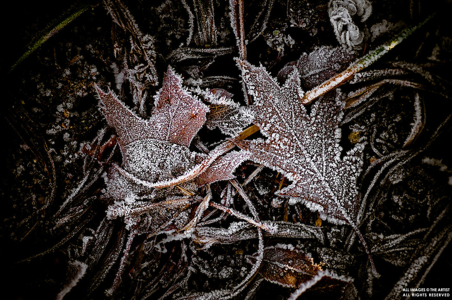 Oak and maple leaves iced with hoar frost