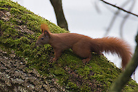 Eichhörnchen, Eich-Hörnchen, Sciurus vulgaris