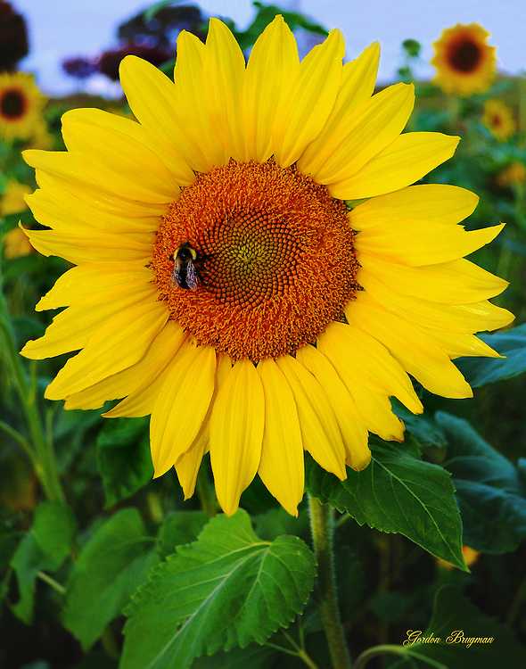A Bumblebee explores a blooming sunflower.