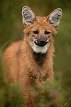 Maned wolf portrait, South America