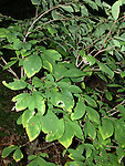 Leatherwood Shrub