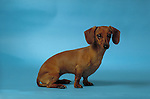 Dachshund<br /> <br /> <br /> <br /> <br /> <br /> Shopping cart has 3 Tabs:<br /> <br /> 1) Rights-Managed downloads for Commercial Use<br /> <br /> 2) Print sizes from wallet to 20x30<br /> <br /> 3) Merchandise items like T-shirts and refrigerator magnets