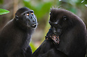 Crested black macaques, mother holding baby, (Macaca nigra), Indonesia, Sulawesi; Endangered species, threatened through loss of habitat and bush meat trade, species only occurs on Sulawesi.