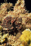 Ocotal, Costa Rica; a Common Seahorse (Hippocampus taeniopterus) hiding in amongst the rocky reef , Copyright © Matthew Meier, matthewmeierphoto.com All Rights Reserved