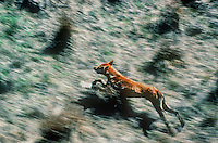 Aerial of Australian Dingo on the Northern Floodplains