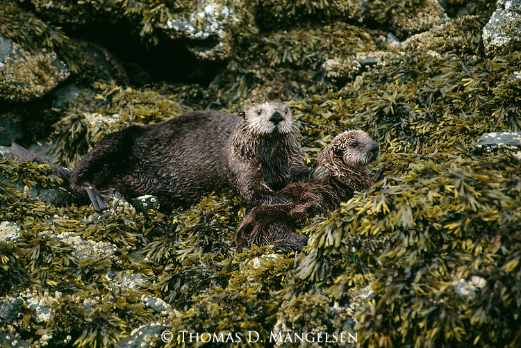 A sea otter and her pup on the shore of Monterey Bay, California.