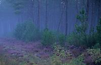 Europe/France/Aquitaine/40/Landes/Parc Naturel Régional des Landes de Gascogne/Vallées des Leyres/Pissos: Forêt landaise et bruyère dans la brume matinale