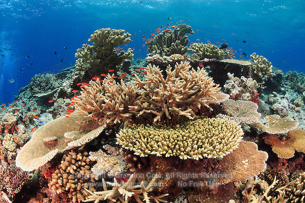 qe0007-D. healthy coral reef with impressive hard coral coverage, including species of Acropora sp. and Pocillopora sp.. Fiji, tropical Pacific Ocean..Photo Copyright © Brandon Cole. All rights reserved worldwide.  www.brandoncole.com..This photo is NOT free. It is NOT in the public domain. This photo is a Copyrighted Work, registered with the US Copyright Office. .Rights to reproduction of photograph granted only upon payment in full of agreed upon licensing fee. Any use of this photo prior to such payment is an infringement of copyright and punishable by fines up to  $150,000 USD...Brandon Cole.MARINE PHOTOGRAPHY.http://www.brandoncole.com.email: brandoncole@msn.com.4917 N. Boeing Rd..Spokane Valley, WA  99206  USA.tel: 509-535-3489
