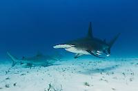 RR1917-D. Great Hammerhead Shark (Sphyrna mokarran) swims in front of two Bull Sharks (Carcharhinus leucas) over sandy bottom. Bahamas, Atlantic Ocean.<br /> Photo Copyright &copy; Brandon Cole. All rights reserved worldwide.  www.brandoncole.com
