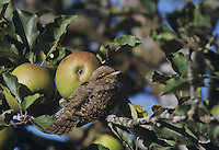 Eurasian Wryneck, Jynx torquilla, adult in Apple Tree, Oberaegeri, Switzerland, September 1995