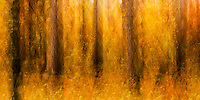 Chapel Pines grove at St. Croix State Park abstract