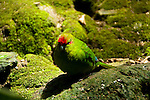 New Zealand, South Island: Kakariki parakeet bird at resort Lochmara Lodge near town of Picton on Marlborough Sounds. Photo copyright Lee Foster. Photo # newzealand125455