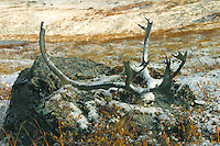 Caribou antlers rest dropped probably several years before. North Slope, Endicott Mountains of the central Brooks Range in northern Alaska. 130 miles north of the the Arctic Circle.