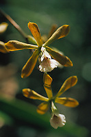 Epidendrum amictum, epiphytic orchid in forest gallery, Venezuela